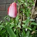The 1st of my tall tulips .