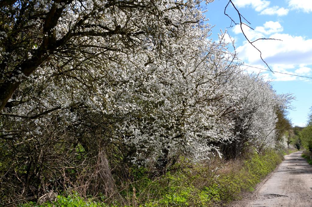 Blackthorn Blossom by arkensiel