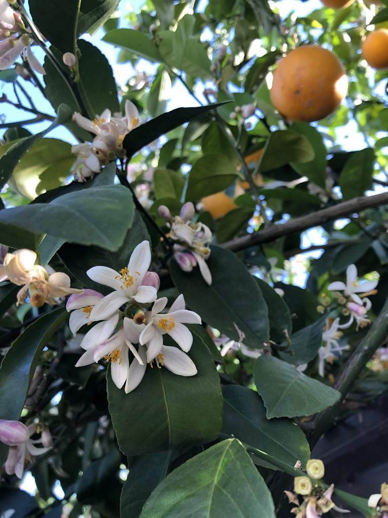 Orange Tree by loweygrace