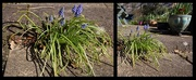 2nd Apr 2021 - April 2nd Grape Hyacinths
