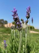 5th Apr 2021 - Lavender