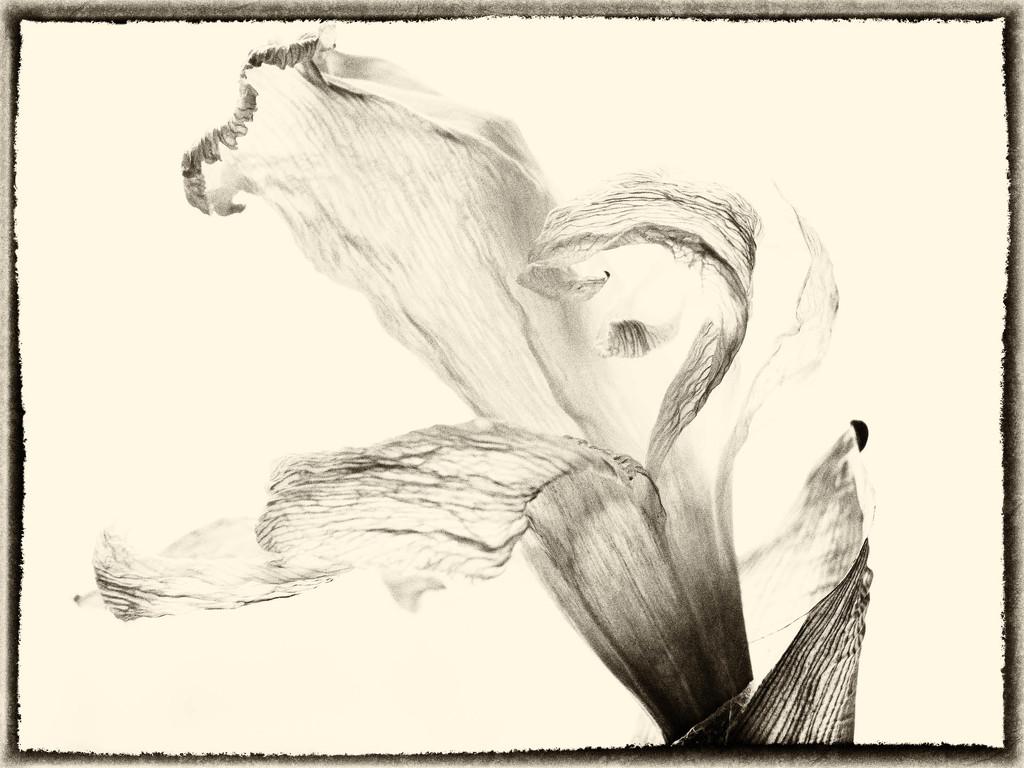 A daffodil by haskar