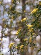 6th Apr 2021 - Lady Banksia climbing rose - gone wild...