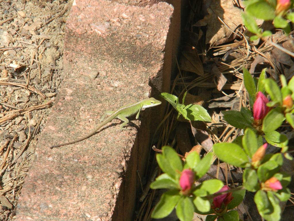 Lizard in Flower Bed by sfeldphotos