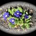 More colors of primrose.....