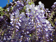 5th Apr 2021 - Pretty Purple Wisteria