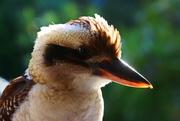 3rd Apr 2021 - Happy Kookaburra