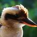 Happy Kookaburra