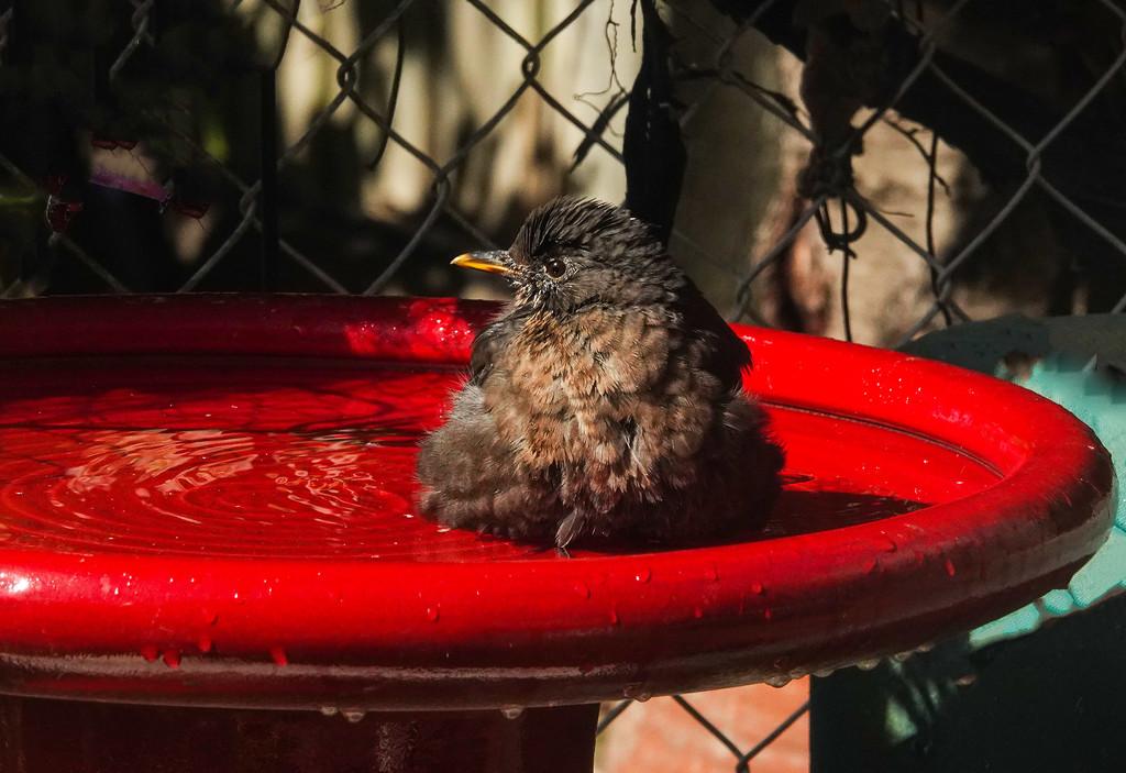 Splashing in the new red bath by maureenpp