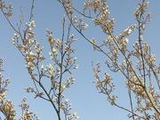 6th Apr 2021 - Beautiful white blossoms.