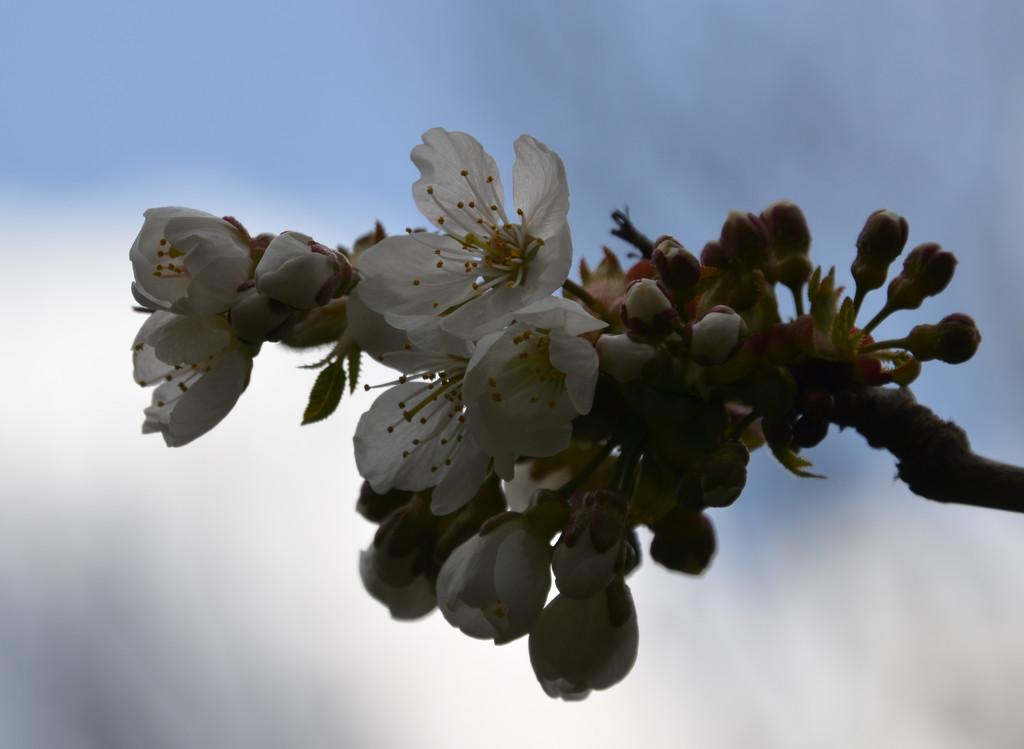 Cherry Blossom by arkensiel