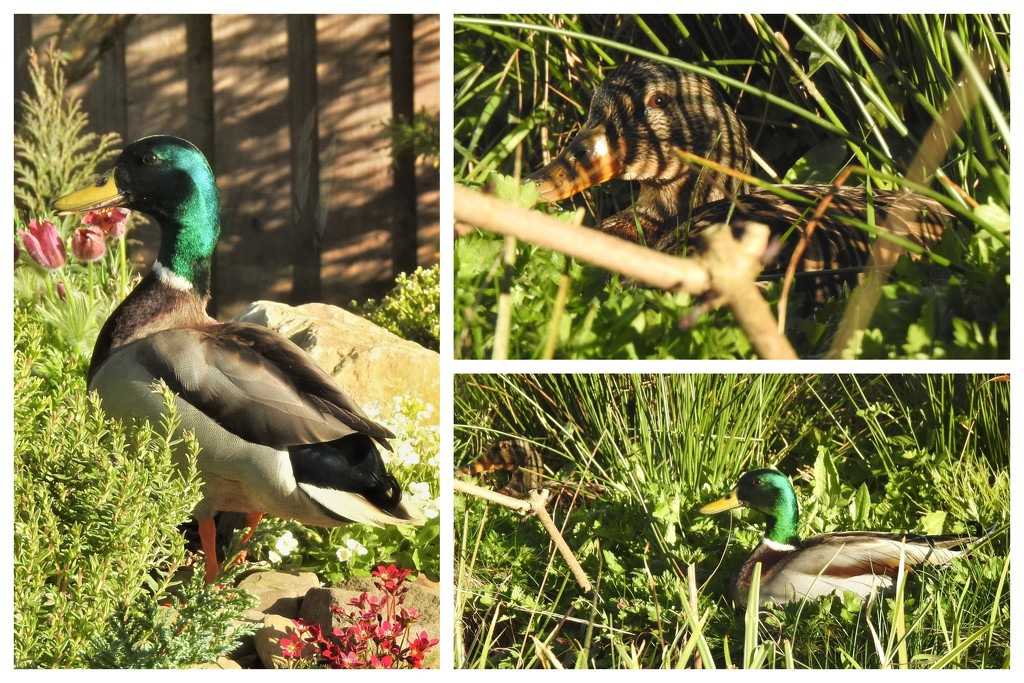 Mr and Mrs Duck in the Garden by susiemc