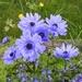Blue Anenomes