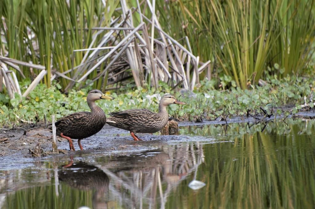 Mottled Ducks by chejja