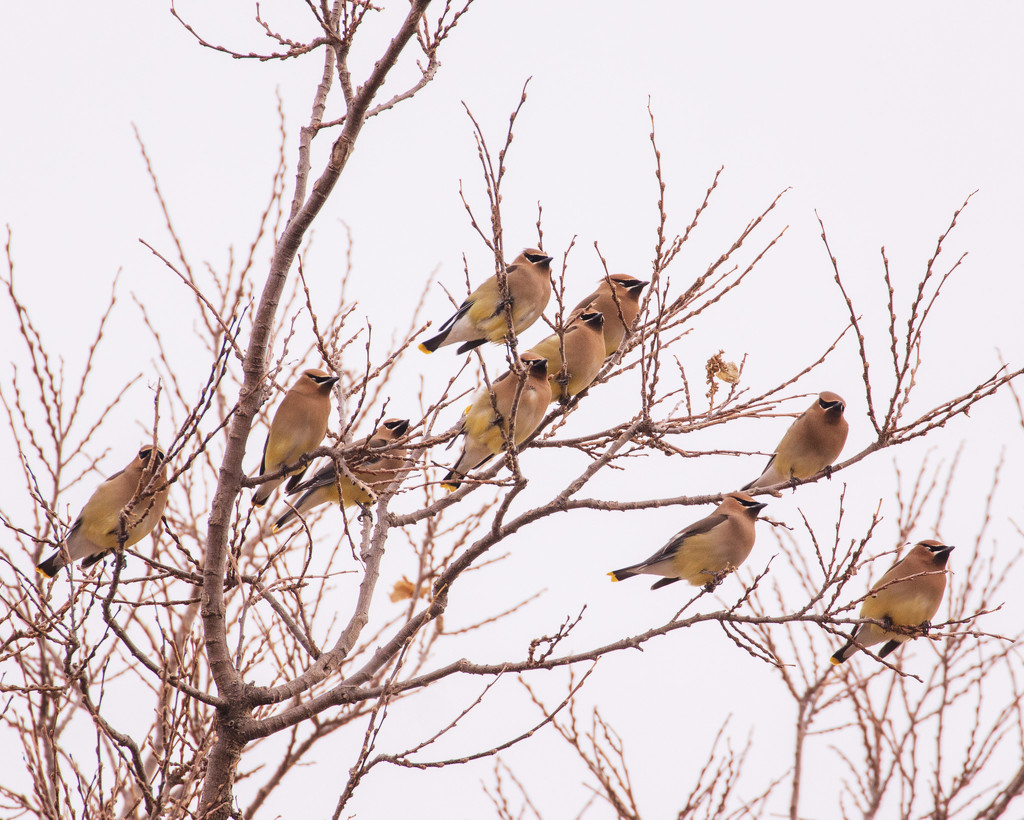 waxwings by aecasey