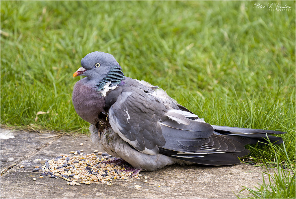 Injured Woodpigeon by pcoulson