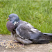 Injured Woodpigeon