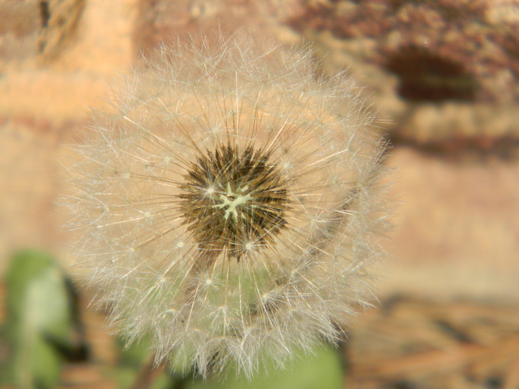 Dandelion by sfeldphotos