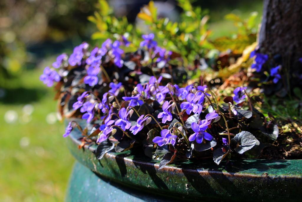 Viola odorata  by pyrrhula