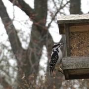 6th Apr 2021 - Hairy Woodpecker