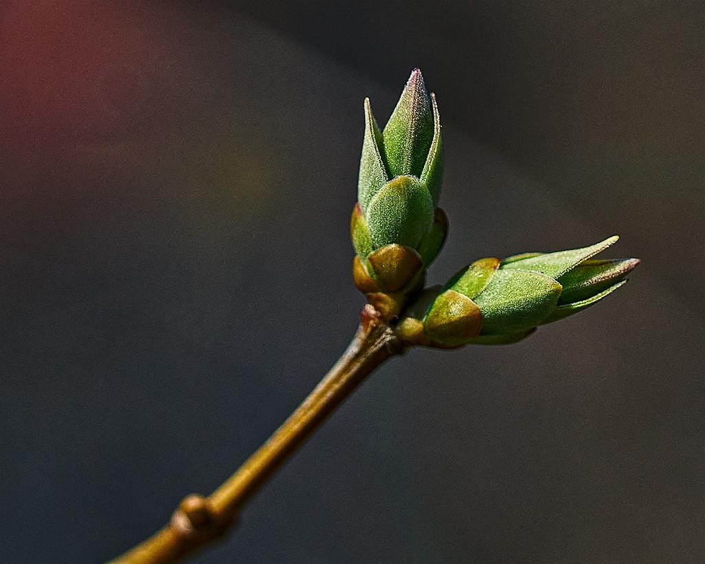 Lilac Buds by gardencat