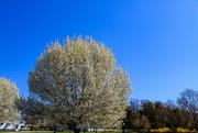 6th Apr 2021 - Neighbor's Tree