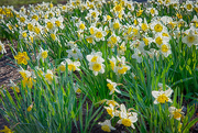 5th Apr 2021 - Daffodils Promise