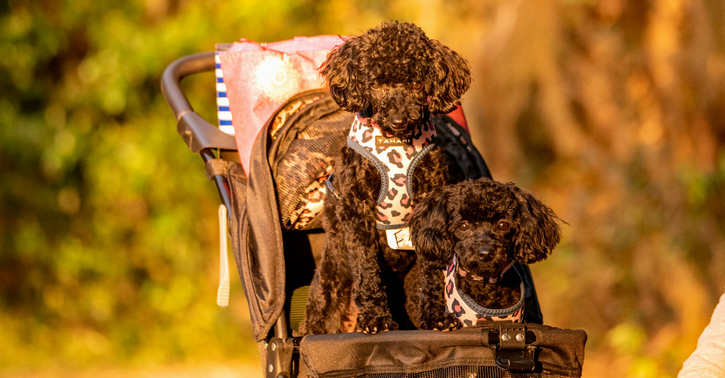 The Dogs, Out for a Stroll in the Stroller! by rickster549