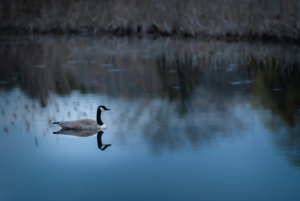 goose on lake with reflections by jackies365