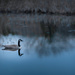 goose on lake with reflections