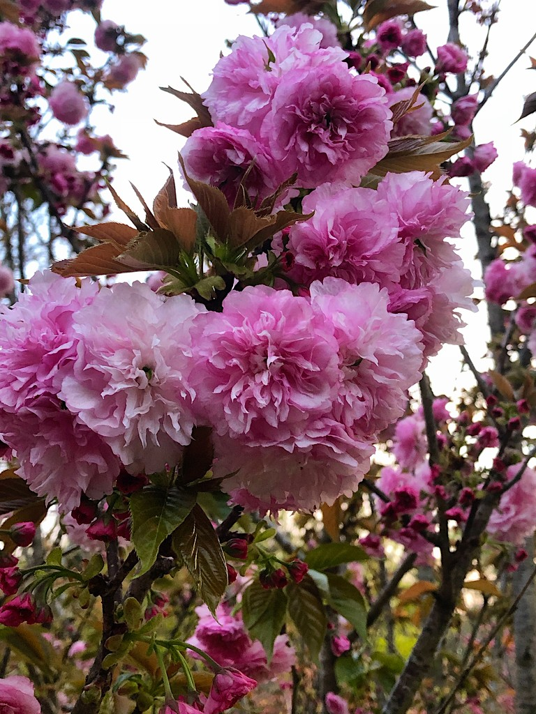 Japanese cherry blossoms by congaree