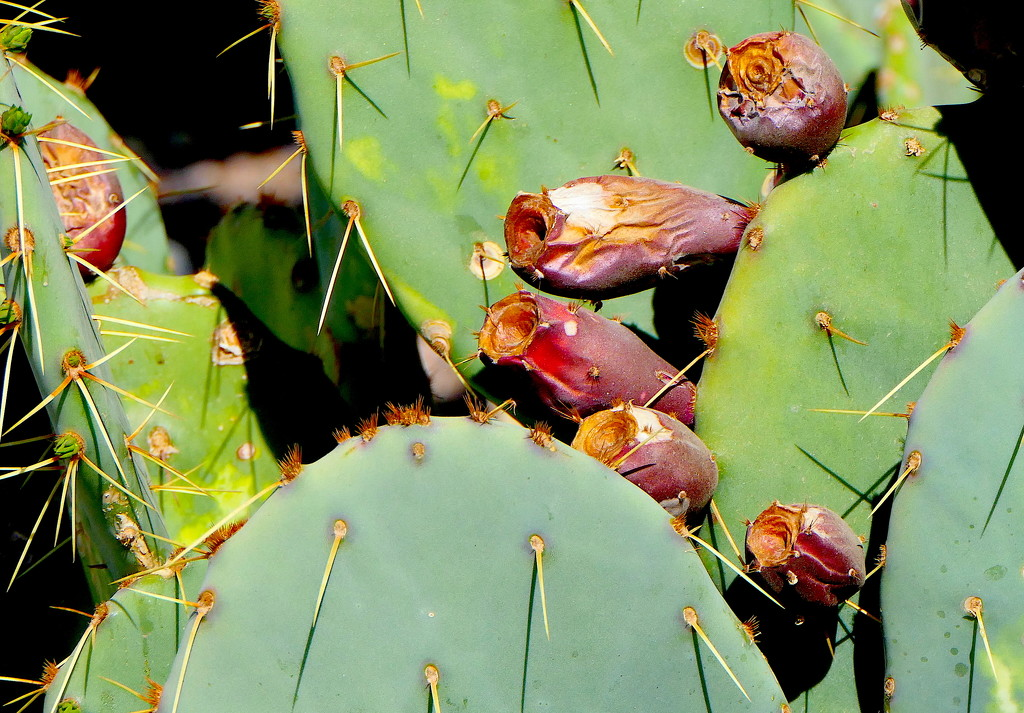 Prickly Pear Cactus Blooms by redy4et
