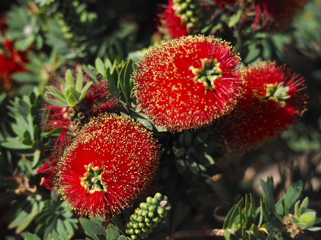 Weeping Bottle Brush  by redy4et