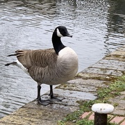 7th Apr 2021 - Not so much Swan-Lake... more Goose-Canal!