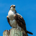 Osprey Pole Sitting