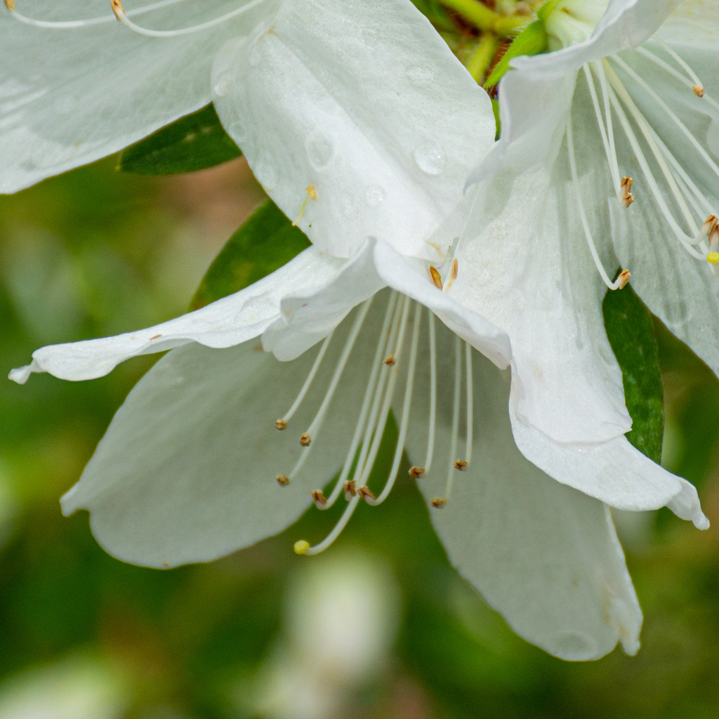White Azalea... by thewatersphotos