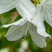 White Azalea...