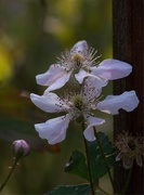 8th Apr 2021 - Dewberry blossoms in the evening light...