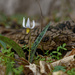 trout lily by a log