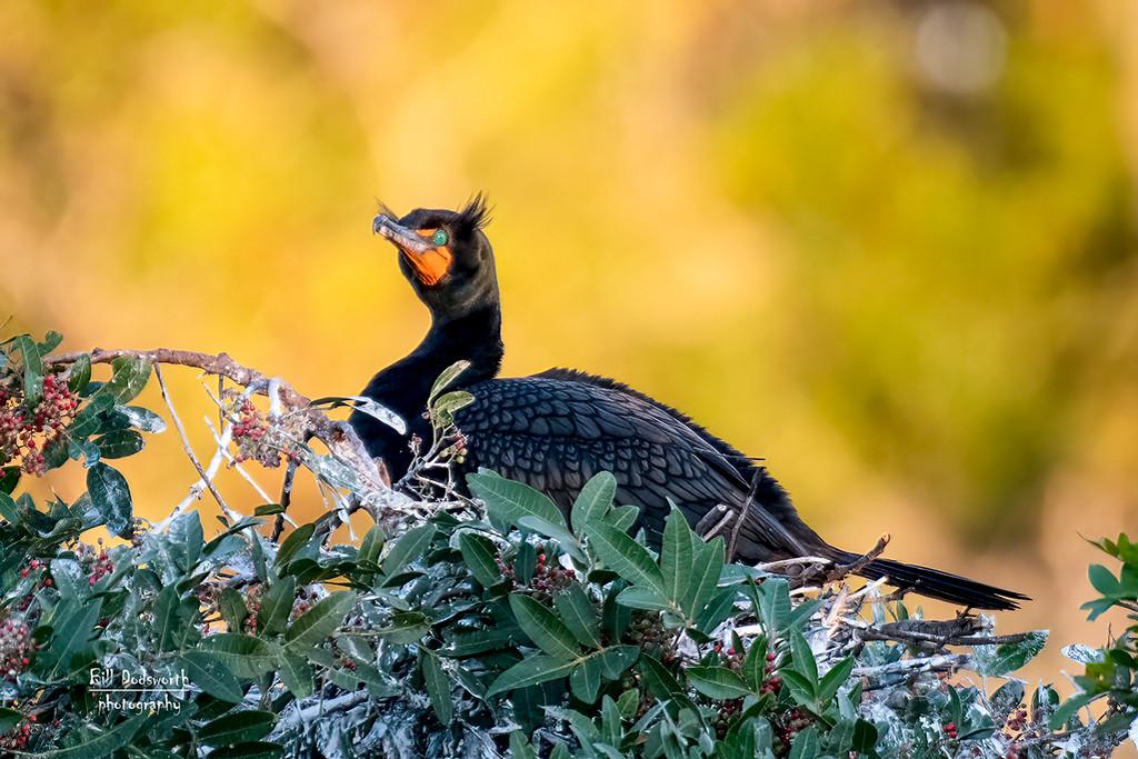 Cormorant on the nest by photographycrazy