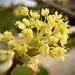 Acer Flower