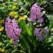 Flowers in our garden. Hyacint.
