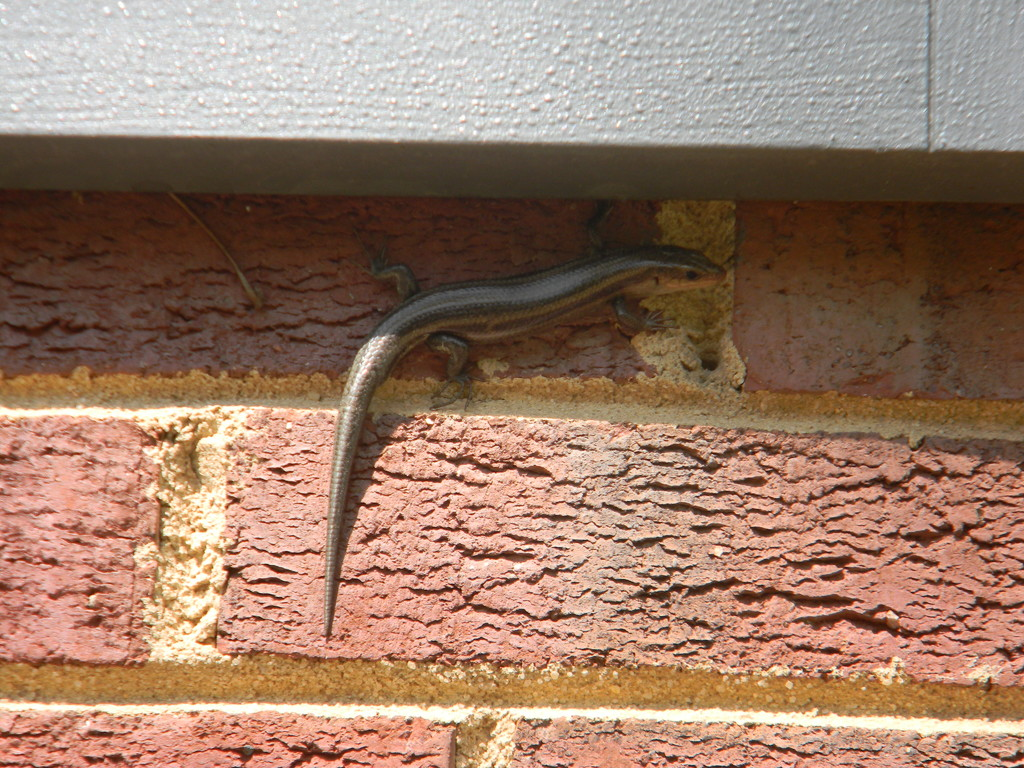 Salamander on Brick by sfeldphotos