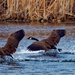 Canada geese splashdown