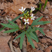 Cut-leaved Toothwort