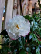 8th Apr 2021 - Camellia Blooming