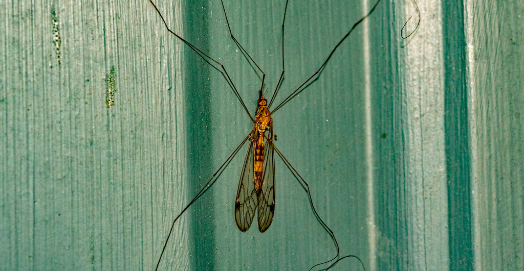 Giant Mosquito! by rickster549