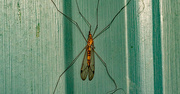 7th Apr 2021 - Giant Mosquito!