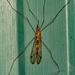 Giant Mosquito!