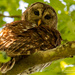 Barred Owl Checking Me Out!